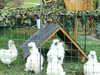 Unsere Zwergseidenhühner